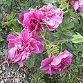 roses-du-soir (3)