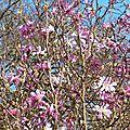 Magnolia étoilé 2602162