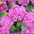 Dites-le avec des fleurs...d'hortensia rose