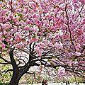 Les cerisiers en fleurs