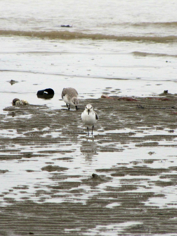 Oiseaux ile de re foto Mo2 (36)-h1500