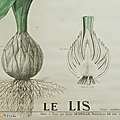 Collection ... affiche le lis * deyrolle