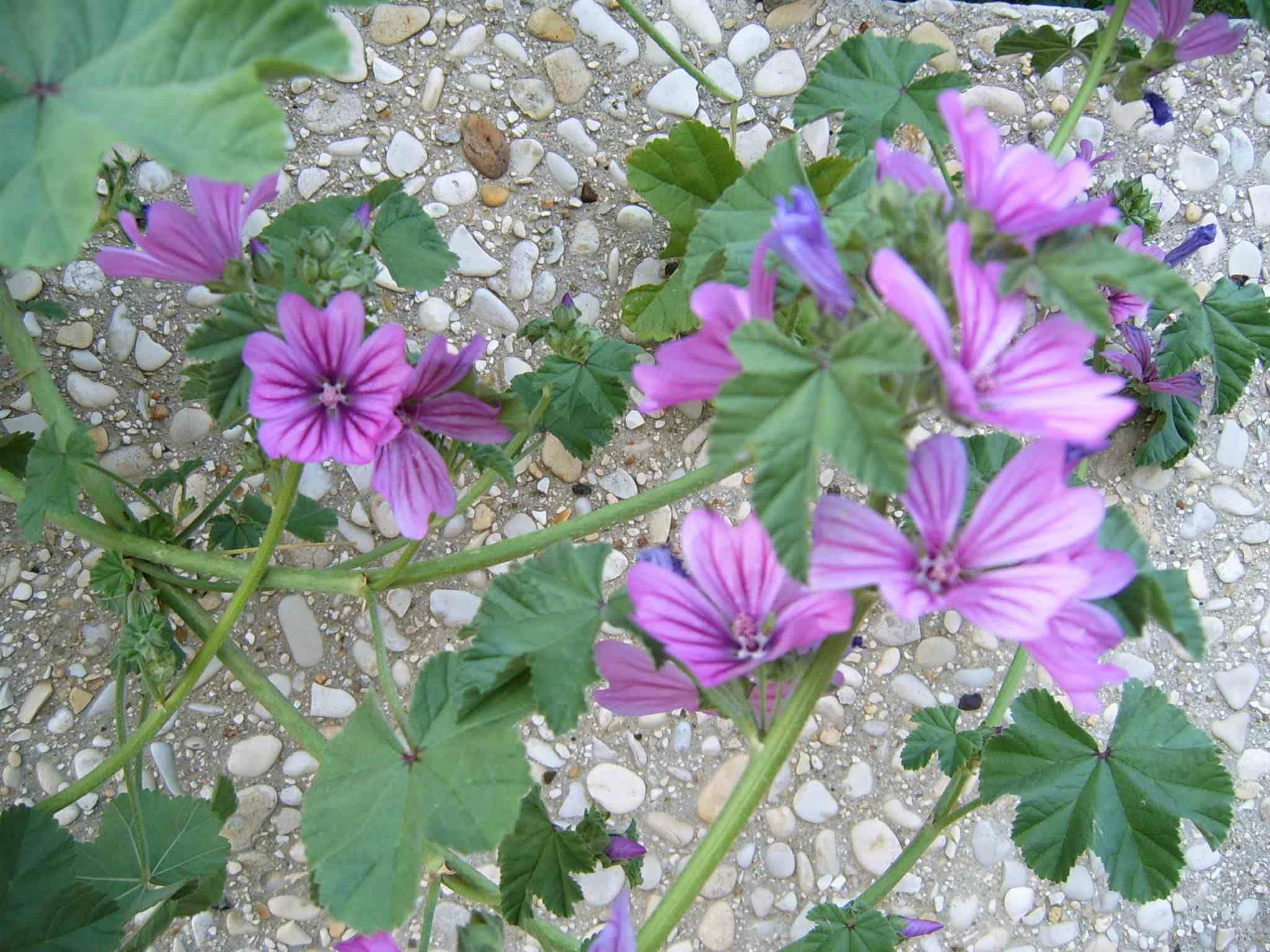 Fleur en Provence petite mauve Malva sylvestris plante vivace