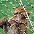 Macaque de Barbarie - Macaca sylvanus
