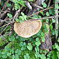 Xerocomus chrysenteron