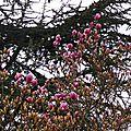 Magnolia 2901163