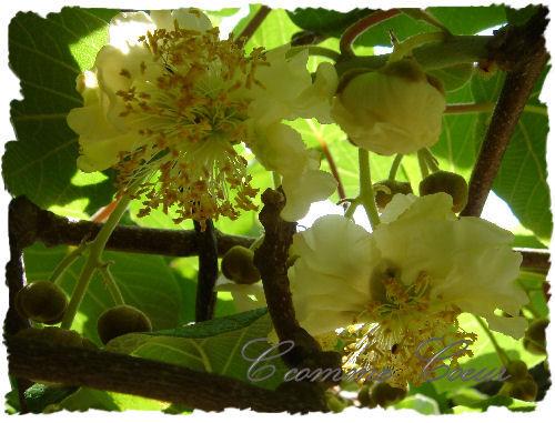 fleurs_kiwi