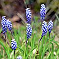 muscari botroyoides (3)