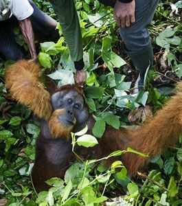 Orangs outans plus que jamais menacés par la déforestation à Sumatra - Photo Protect Nature Protéger la nature Facebook