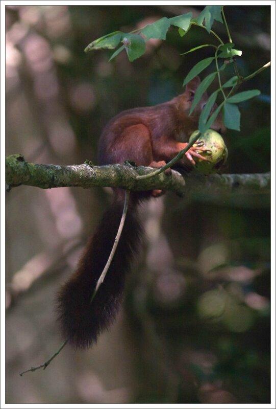 ville ecureuil mange noix verte 2 040914