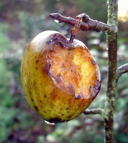 Pomme en hiver