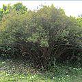 arbuste-2015