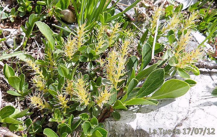 fleurs mâles