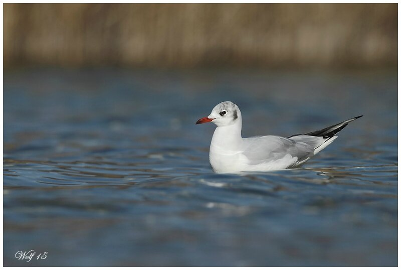 mouette-rieuse-15-04