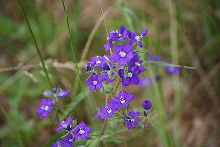 fleur_bleue_16