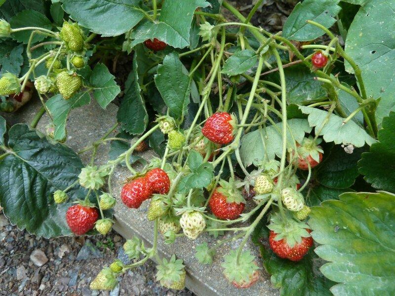 1 - fraisiers
