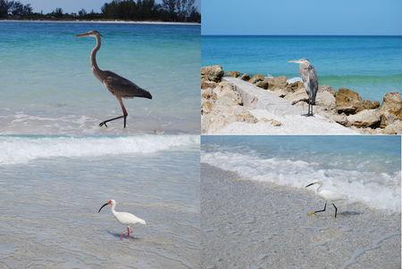 oiseaux_coquina_beach