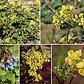 Mahonia à feuilles de houx (berbéridacées)