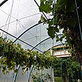 4-vignes, raisins (14)