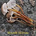Mycena inclinata (1)