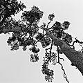 pins géants (domaine de Versailles)