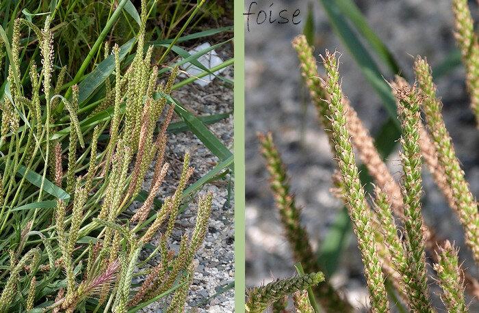 épis denses et élancés longs de 4-8 cm