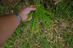photo 29- exemple avec 9 feuilles sur cette ramule de B vulgaris
