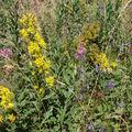 2008 08 21 Fleurs sauvage du Mézenc