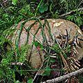 Boletus appendiculatus (4)