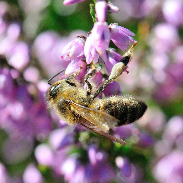 pollen bruyere