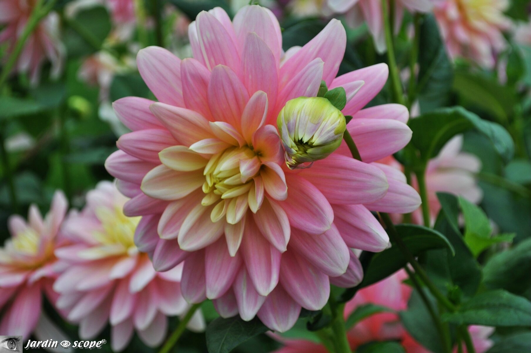 Dahlia 'Bel Amour' (label Rouge)
